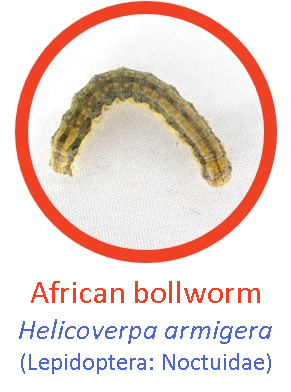 Bollworm1.png