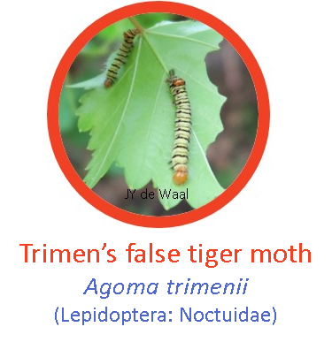 Trimen's false tiger moth1.png