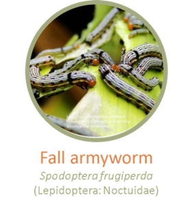 Fall armyworm 2.png