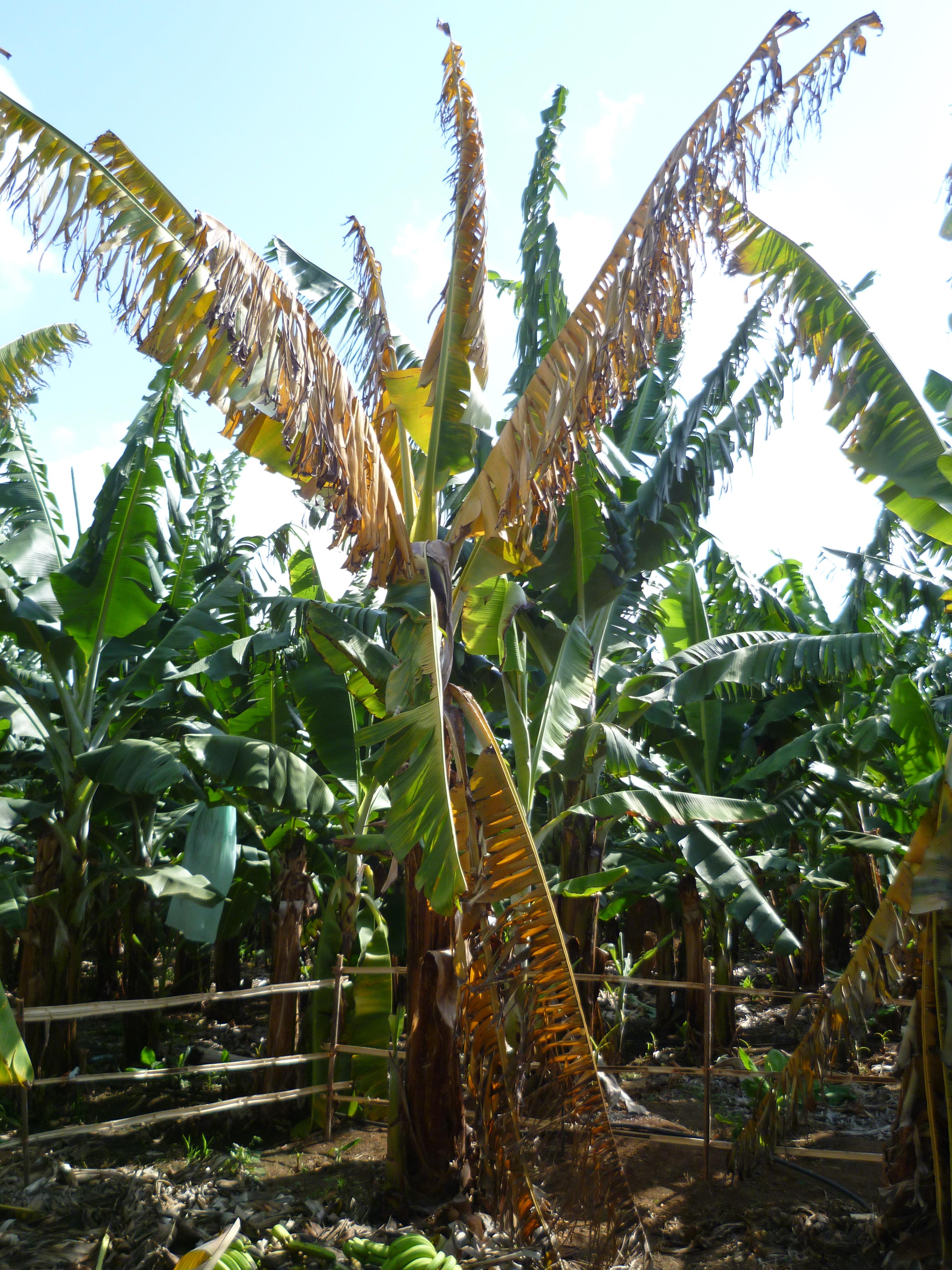 kamantigue leaf extract against fusarium wilt in banana Antifeedant activity of cow urine & neem leaf extract on  by botanicals in banana against colletotrichum musae  chickpea fusarium wilt incited by fusarium.