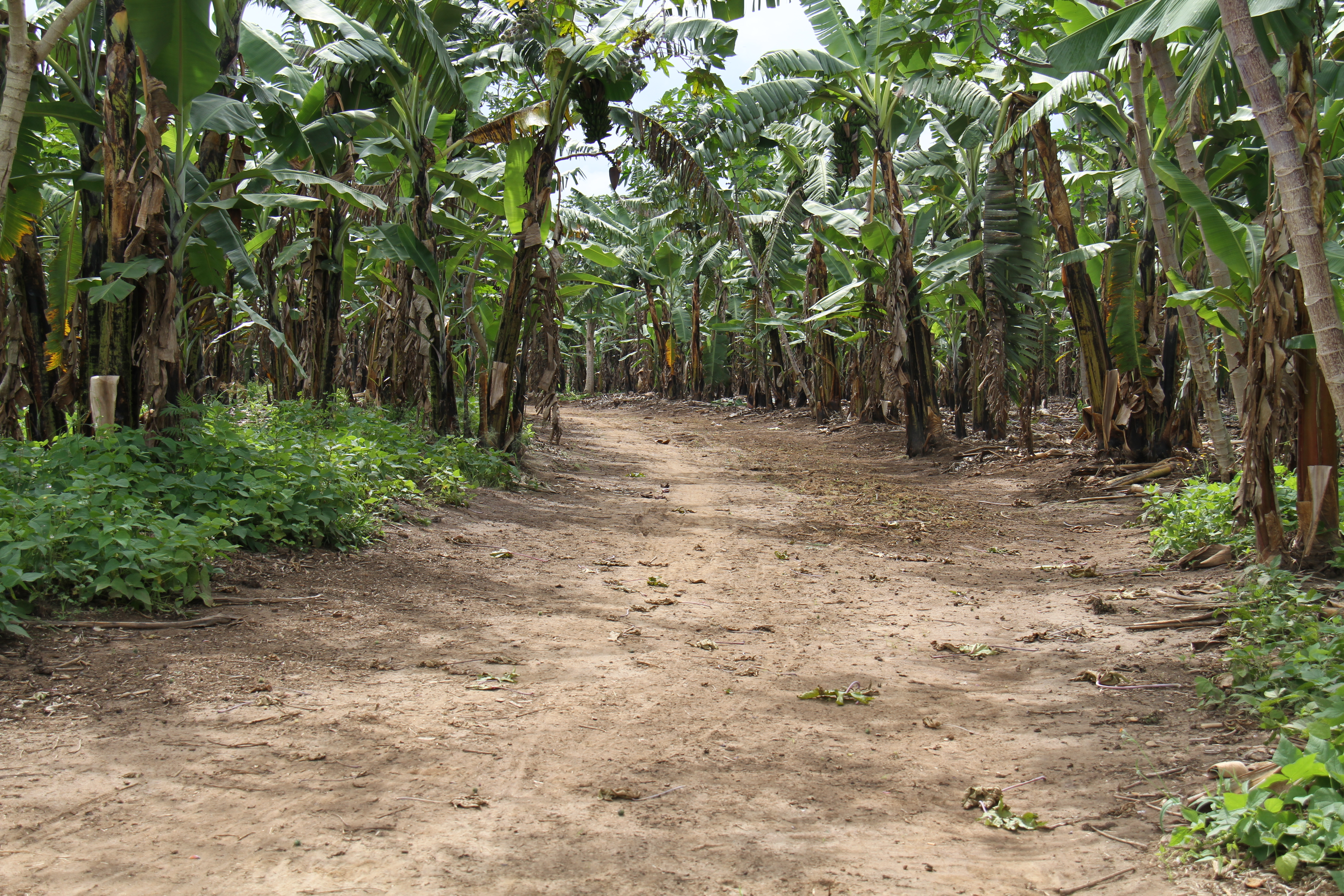banana-bean intercrop, a common feature in intensively managed systems of smallholder highland bananas.JPG