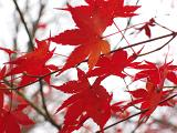 maple_leaves_autumn_00184.jpg