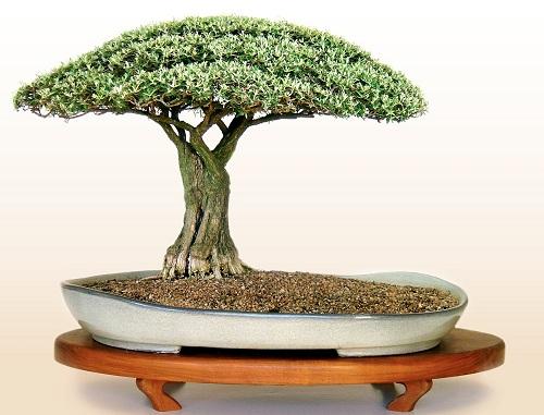 how to grow baobab bonsai