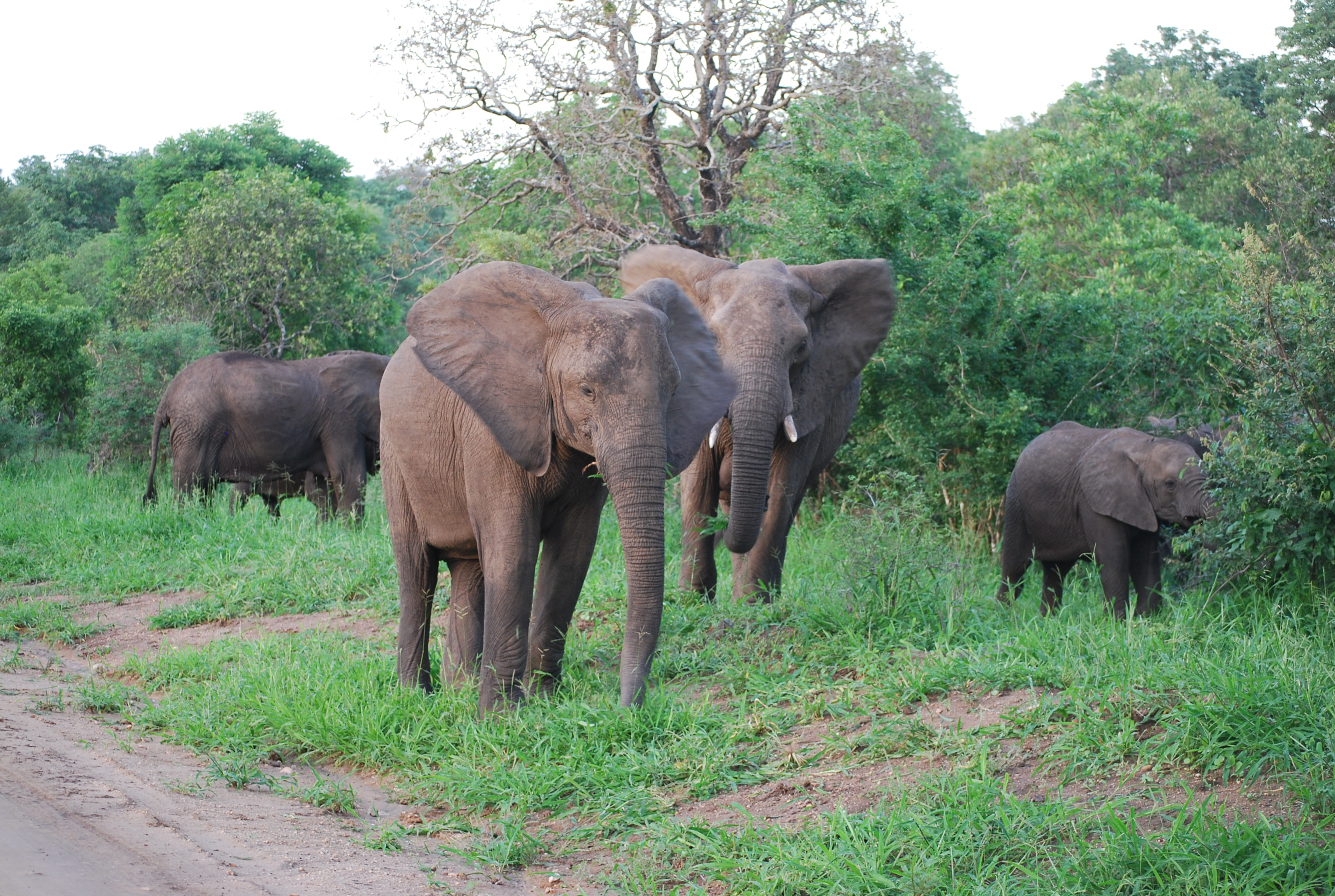 A young breeding herd of elephants majete Wildlife Reserve Malawi.JPG