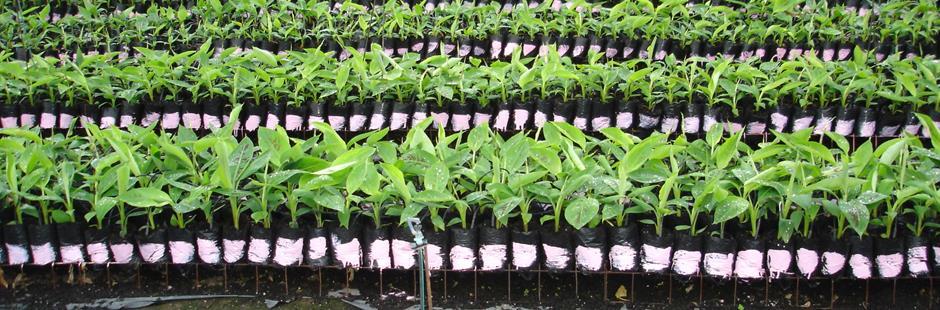 Management Of Banana Fusarium Wilt
